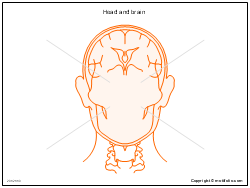 Head and brain