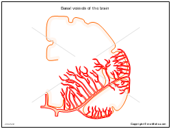 Basal vessels of the brain