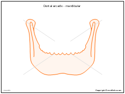 Dental arcade - mandibular