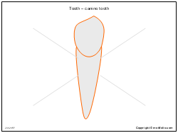 Tooth � canine tooth