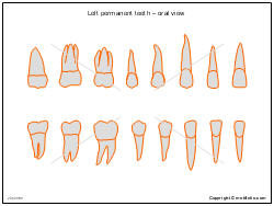 Left permanent teeth � oral view