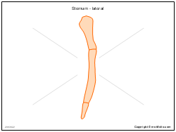 Sternum - lateral