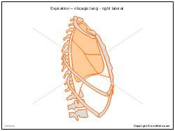 Expiration � ribcage lung - right lateral