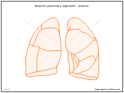 Broncho-pulmonary segments - anterior