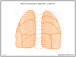 Broncho-pulmonary segments - posterior