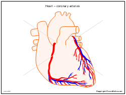 Heart � coronary arteries
