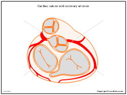 Cardiac valves and coronary arteries