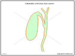 Gallbladder and biliary duct system