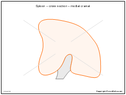 Spleen � cross section � medial cranial