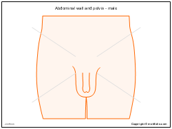 Abdominal wall and pelvis - male