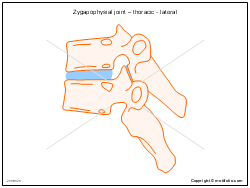 Zygapophysial joint � thoracic - lateral