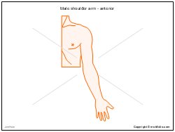 Male shoulder arm - anterior