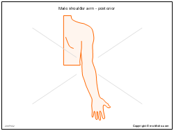 Male shoulder arm - posterior