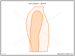 Arm forearm - lateral