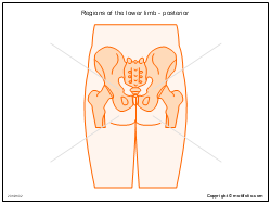 Regions of the lower limb - posterior