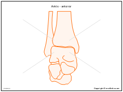 Ankle - anterior