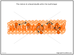 The motion of phospholipids within the lipid bilayer