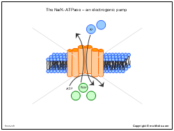 The Na-K-ATPase an electrogenic pump