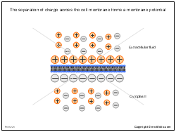 The separation of charge across the cell membrane forms a membrane potential