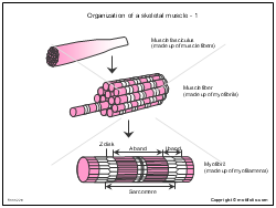 Organization of a skeletal muscle-1
