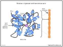 Structure of globular and filamentous actin