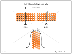 Actin filaments have a polarity