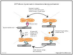 ATP-driven myosin-actin interactions during contraction
