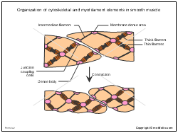Organization of cytoskeletal and myofilament elements in smooth muscle