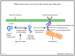 ERM proteins serve to link the plus end of actin filaments