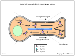 Vesicle transport along microtubule tracks
