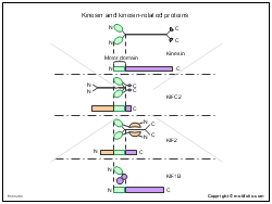 Kinesin and kinesin-related proteins