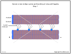 Dynein cross-bridge cycles and bending of cilia and flagella Step 1