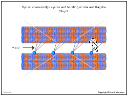 Dynein cross-bridge cycles and bending of cilia and flagella Step 2