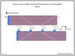 Dynein cross-bridge cycles and bending of cilia and flagella Step 3