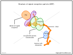 Structure of signal recognition particle SRP