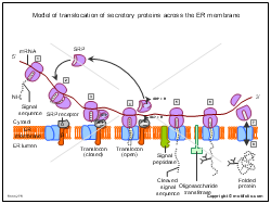 Model of translocation of secretory proteins across the ER membrane