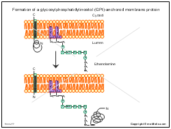 Formation of a glycosylphosphatidylinositol GPI anchored membrane protein
