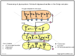 Processing of glycoprotein N-linked oligosaccharides in the Golgi complex