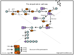 The ubiquitination pathway