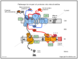 Pathways for import of proteins into mitochondria