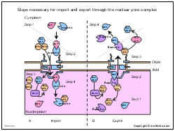 Steps necessary for import and export through the nuclear pore complex