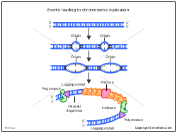 Events leading to chromosome replication