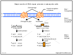 Major events of DNA repair process in eukaryotic cells