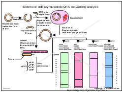 Scheme of dideoxynucleotide DNA sequencing analysis