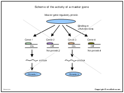Scheme of the activity of a master gene