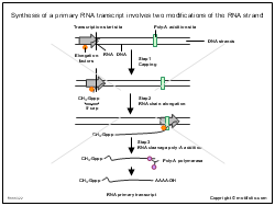 Synthesis of a primary RNA transcript involves two modifications of the RNA strand