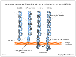 Alternative messenger RNA splicing in neural cell adhesion molecule NCAM