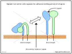 Signals from within cells regulate the adhesive binding activity of integrins