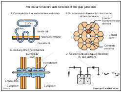 Molecular structure and function of the gap junctions