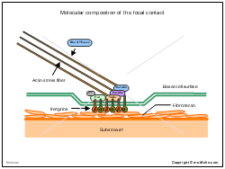 Molecular composition of the focal contact